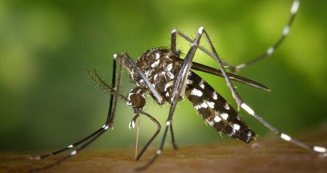 Dikkat! Bu sivrisinek Türkiye'de!