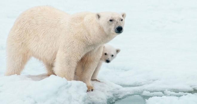Kutup ayıları için kırmızı alarm: Soyları tükenmek üzere