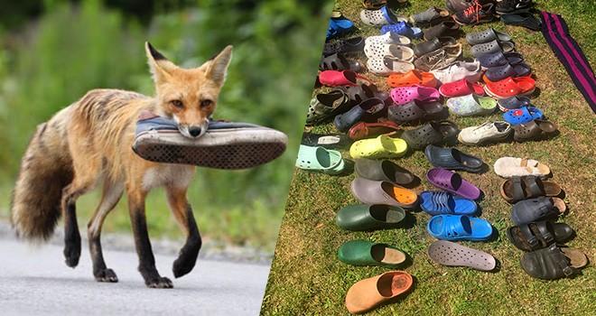 Yüzlerce terlik ve ayakkabıyı çalan tilki suç üstü yakalandı