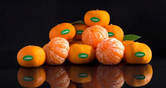 LÖSEV Çiftliği'nde üretilen mandalinalarda tek katkı maddesi sevgi